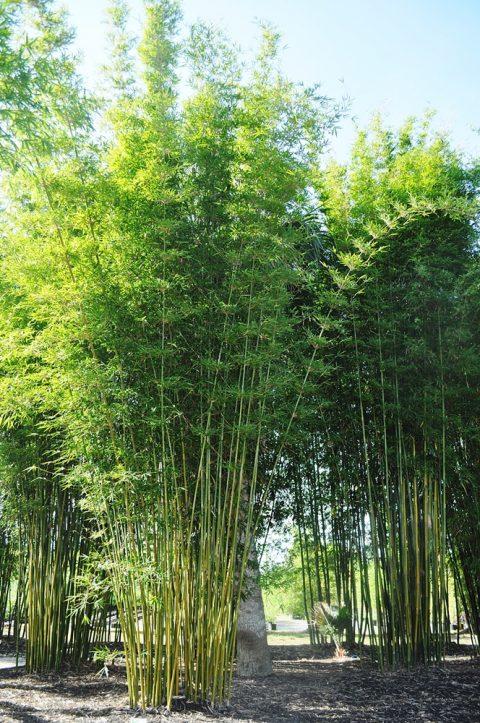 cây tre trúc