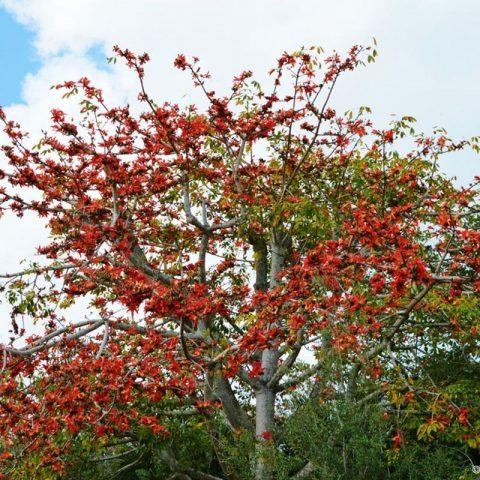 cây gạo hoa đỏ