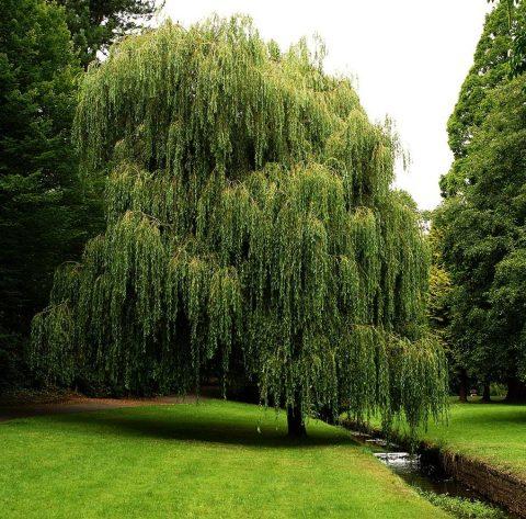 cây liễu rũ