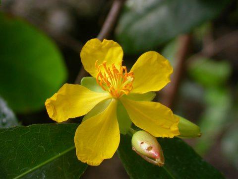 cây mai vàng