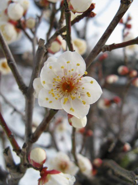 cây mai trắng