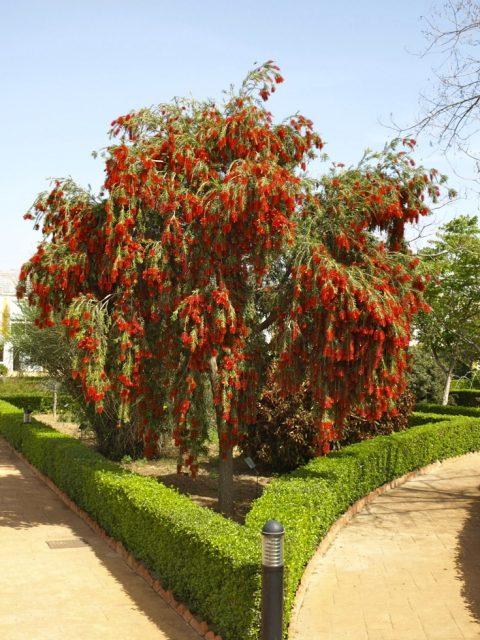 cây tràm bông đỏ