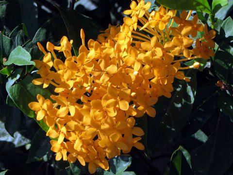 cây trang vàng