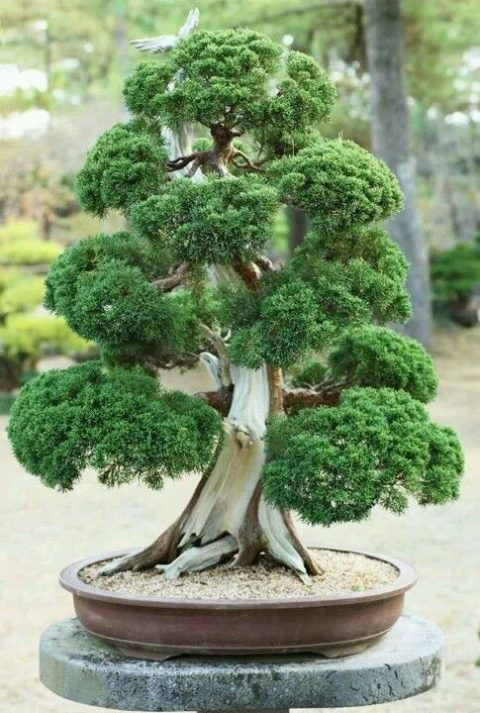 cây tùng bonsai