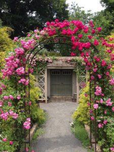 dây leo hoa hồng trang trí sân vườn